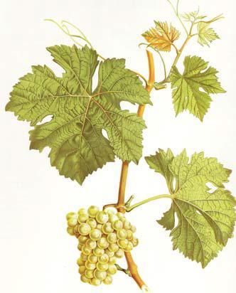 Rotgipfler, Zeilinger, Wein